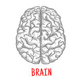 Top view of human brain, sketch style Royalty Free Stock Images