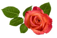 Top view of isolated red rose with leaves Royalty Free Stock Photo