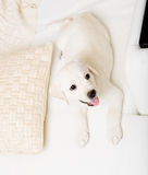 Top view of labrador puppy lying on the sofa Stock Image