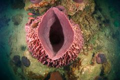 Top View of Large barrel sponge on a deep, tropical coral reef stock photography