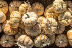 Top View Of A Large Pile Of Small Pump Ke Mon Pumpkins In Rustic Stock Photos