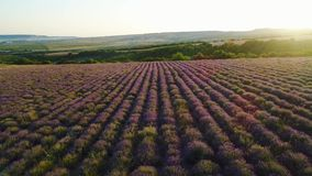 Top view of lavender fields in sun. Shot. Wonderful blooming lavender grows in rows on agricultural field. Rays of dawn stock footage