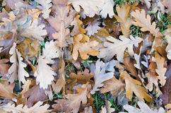 Top view of a layer of fallen oak leaves Royalty Free Stock Photography