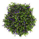 Top view of lilac flowers bush isolated on white. Background Royalty Free Stock Photo