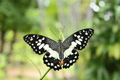 Top view of lime butterfly Royalty Free Stock Image