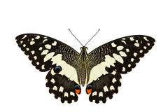 Top view of Lime butterfly in white background Royalty Free Stock Photography