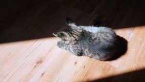 Little tabby cat playing in the sunlight on the floor. Top view of a little tabby cat playing in the sunlight on the floor stock video footage