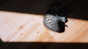 Little tabby cat playing in the sunlight on the floor. Top view of a little tabby cat playing in the sunlight on the floor stock footage