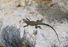 Lizard on the rock. Reptile in the nature. Royalty Free Stock Photo