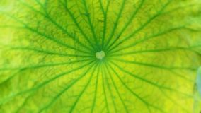 Top view of lotus green leaf texture background. Top view of a lotus green leaf texture detail background stock photo