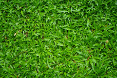 Top view of lush green malaysian grass lawn background in house Royalty Free Stock Image
