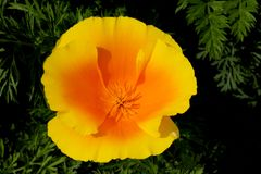 A top view of a California poppy in bloom. royalty free stock photos