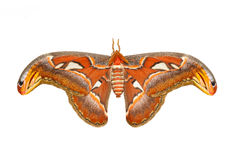 Top view of male attacus atlas moth Royalty Free Stock Images