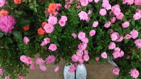 Top view of many pink rose with white shoes. Top view of many pink rose royalty free stock photography