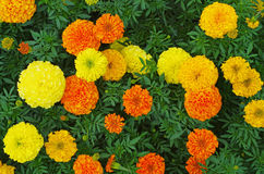 Top view of marigold flowers Royalty Free Stock Photo