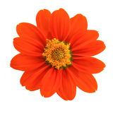 Top view of Mexican sunflower Royalty Free Stock Images