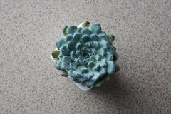 Top view of the house plant Echeveria Bristly on a gray stone background. Top view of a miniature house plant Echeveria Bristly, in a flower pot on a gray stone royalty free stock photos