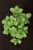 Top view of mint plant Royalty Free Stock Photos