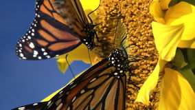 Top view of Monarch butterflies. Gathering nectar from flower stock video footage