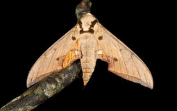 Top view of moth Royalty Free Stock Image