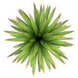 Top view of mountain cabbage palm tree isolated stock illustration