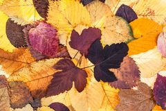 top view of natural autumn fallen leaves Royalty Free Stock Image