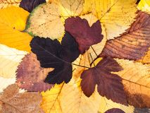 top view of natural autumn pied fallen leaves Royalty Free Stock Photo