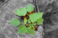 Top view of new life plant growing on tree stump Royalty Free Stock Photos