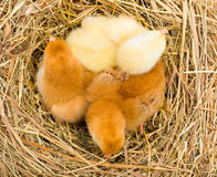 Top view of newborn chickens in hay nest Stock Images