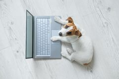 Free Top View Of A Cute Funny Dog At A Laptop. Purebred Shorthair Jack Russell Terrier Lies On A Wooden Floor In Front Of A Stock Photos - 185557153