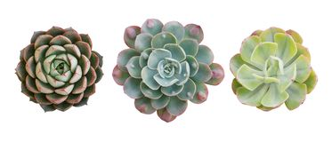 Free Top View Of Small Potted Cactus Succulent Plants, Set Of Three Various Types Of Echeveria Succulents Including Raindrops Echeveria Royalty Free Stock Photography - 153817997