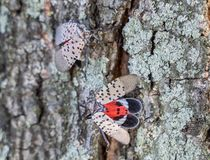 Free Top View Of Spotted Lanternfly Lycorma Delicatula, Berks County, Pennsylvania Stock Images - 160046474