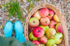 Free Top View Of Straw Basket With Red Apples And Stock Images - 33974184