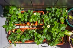 Free Top View Of Strawberry Balcony Farm In An Apartment Stock Photo - 183894000