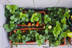 Free Top View Of Strawberry Balcony Farm In An Apartment Stock Photography - 183894002