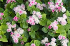 Top View Of The Lush Bushes Of Pink Ageratum Gauston, Or Mexican Ageratum Lat. Ageratum Houstonianum Stock Image