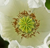 Top view of opium poppy Stock Photography