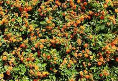 Summer flowers background. Top view of orange flowers background texture. Selective focus Royalty Free Stock Photography