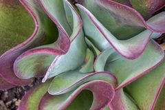 Top view of the  paddle plant leaves royalty free stock photo