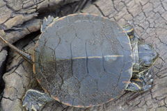 Top view of Painted Turtle. View of the upper shell, or carapace, of a Midland Painted Turtle Hatchling Stock Photography