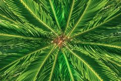 Top view of the palm tree. Background of radial stems and green leaves stock image