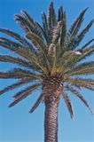 Top view of a palm tree in the sun. A top view of a plam tree in the height of summer against a blue sky Royalty Free Stock Photos