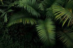 Top view of palm tree and tropical rainforest foliage plant leaves growing in wild, green nature dark background. stock photo