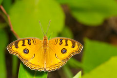 Top view of pansy peacock butterfly Royalty Free Stock Photos