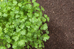 Top view of parsley Royalty Free Stock Photo