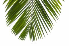 Top view part of phoenix palm leaf on corner. Isolated branch at white background.  royalty free stock images