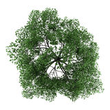 Top view of pedunculate oak tree isolated on white Royalty Free Stock Image