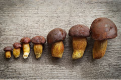 Top view of pine bolete (Boletus pinophilus) mushrooms collection arranged in row from small to big. Stock Images