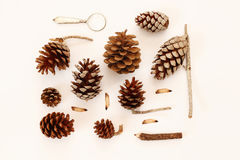 Top view of pine cones on white background Stock Image