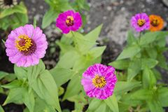 Top view on pink Common Zinnia Zinnia elegans flower in garden. Close-up on Zinnia plant in bloom stock image